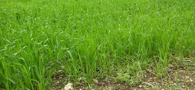 Grünes Getreidefeld im Frühjahr